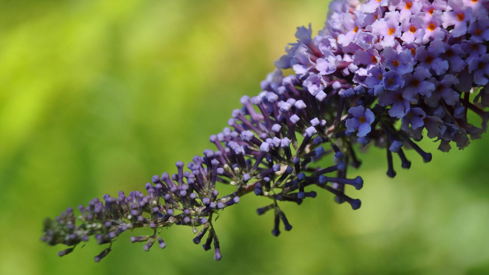 Problempflanze Sommerflieder